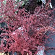 Berberis thunbergii 'Red Dream' (Berberys Thunberga) - berberis__thunbergii_golden_and_red_dream[1].jpg